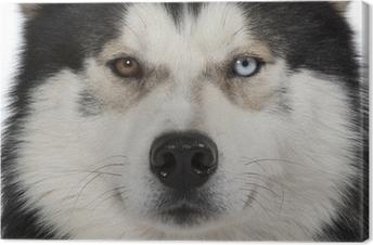 Obraz na płótnie Oczy ścienne Siberian Husky