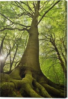Obraz na płótnie Stare drzewo buk