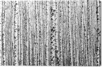Obraz na płótnie Wiosenne pnie brzozy czerni i bieli