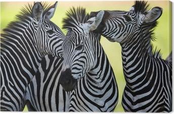 Obraz na płótnie Zebry całuje i kuląc