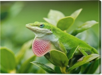 Obraz na płótnie Zielona Anole jaszczurka (carolinensis Anolis) pokazując różowy podgardle