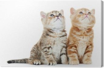 Obrazy premium Brytyjski krótkowłosy kitten Kot samodzielnie
