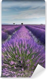 Papier peint vinyle Champ de lavande en Provence pendant les heures de la matinée