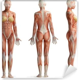 Papier peint vinyle Female anatomy