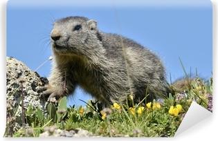 Papier peint vinyle Jeune Alpine marmot