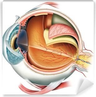 Papier peint lavable Anatomie de l'oeil