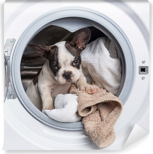Papier peint lavable Bouledogue français chiot à l'intérieur de la machine à laver