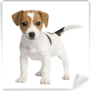 Papier peint lavable Puppy Jack russell (7 weeks)
