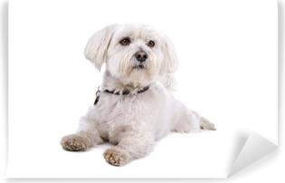 Papier peint vinyle Mignon chien shih tzu gisant sur le sol