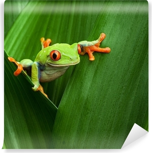 Papier peint vinyle Red eyed tree frog