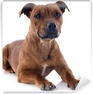 Papier peint vinyle Staffordshire Bull Terrier