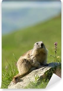 Papier peint vinyle Une marmotte mignon dans les Alpes