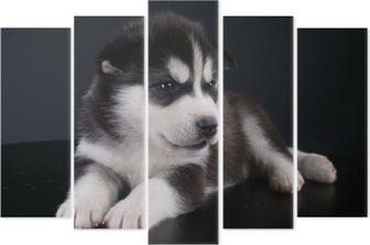 Pentaptyk Śliczne Siberian Husky puppy