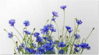 ba46939e354 Bouquet af smukke levende blå blomster af cornflower isoleret Plakat ...