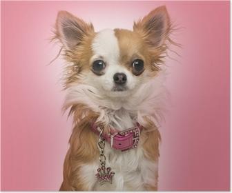 Plakat Chihuahua har en skinnende krage, sitter på rosa bakgrunn