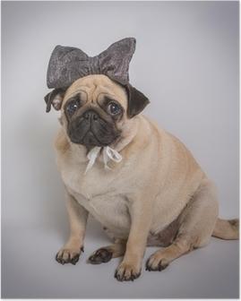 Funny Pug / Funny Pug på hvid baggrund Plakat
