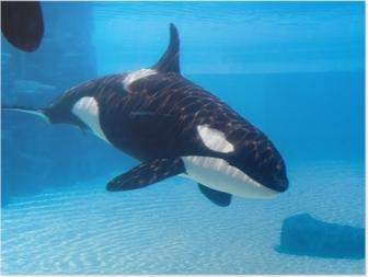 Plakat Killer Whale (Orcinus Orca) i et akvarium