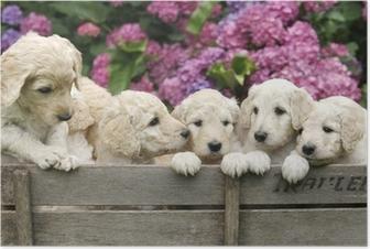Labradoodle Pupies Plakat