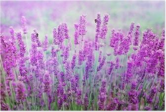 Lavendel Plakat