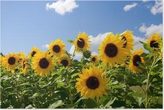 Sonnenblumen Plakat