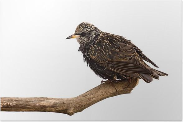 Starlingundersøgelser området for mad Plakat - Fugle