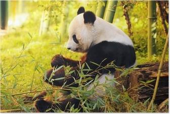 Stor panda sidder på skovbunden, der spiser bambus Plakat