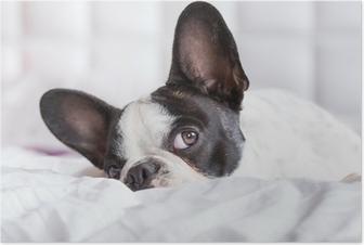 Plakat Adorable Buldog francuski puppy leżącego w łóżku