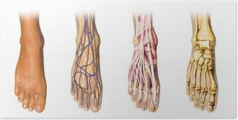 Plakat Anatomia ludzkiej stopy krzyż sekcje