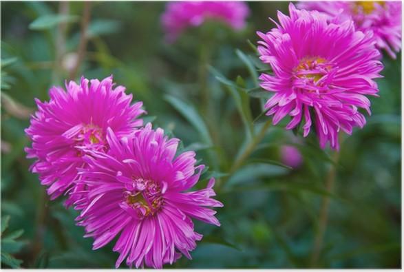 Plakát Astry v záhonu - Květiny
