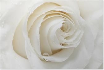 Plakat Biała róża