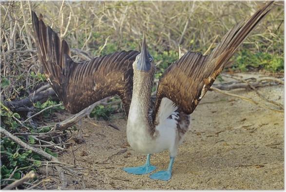 Plakát Blaufußtölpel beim Balztanz - Ptáci