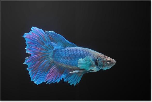 Plakát Bojování ryby - Imaginární zvířata