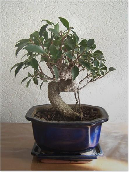 Plakát Bonsai Ficus - Stromy