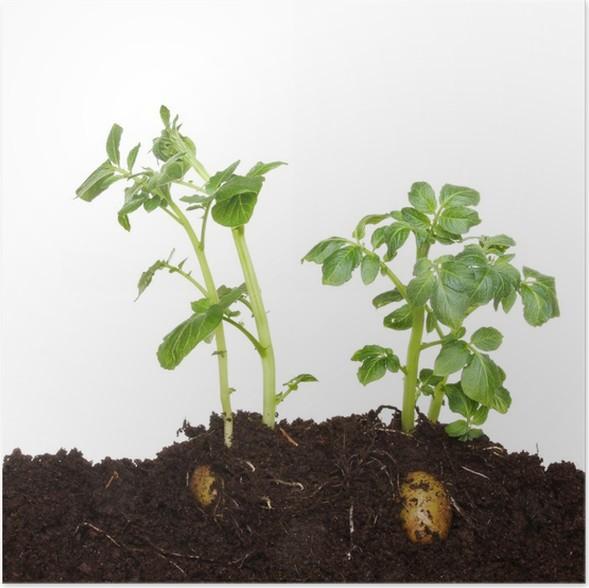 Plakát Bramborové rostliny v půdě - Rostliny
