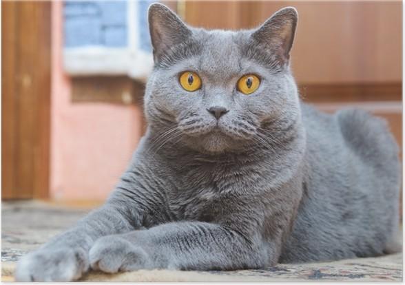 Plakát Britská kočka - Britská kočka