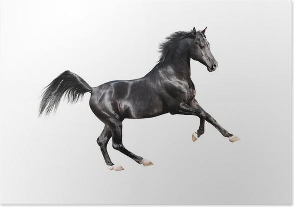 Plakát Černá expresivní arab kůň izolovaných na bílém - Nálepka na stěny