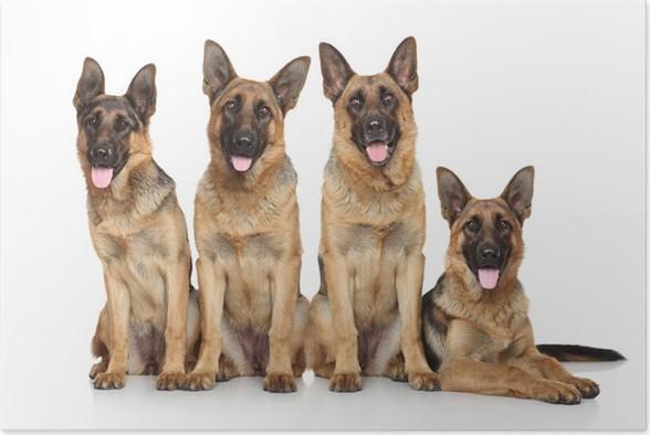 Plakát Čtyři vtipné pastýř - Savci