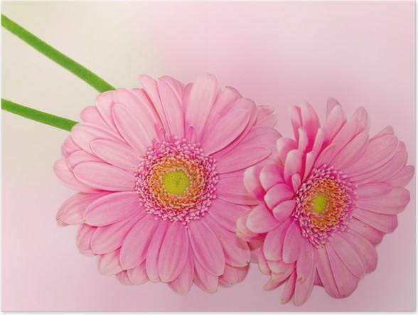 Plakát Daisy květiny - Květiny