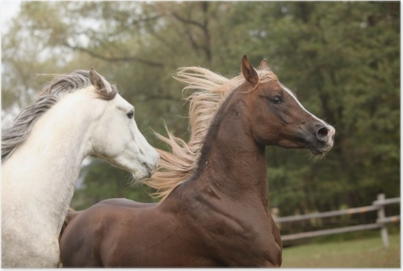 Plakát Dva hřebci hrají na pastvinu - Savci