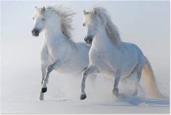 Plakat Dwa galopujący śnieżnobiałe konie