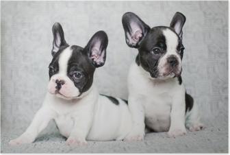 Plakat Dwa szczeniaki buldog francuski