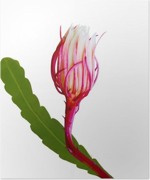 Plakát Epiphyllum Bud - Květiny