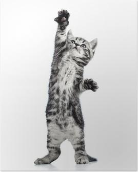 Plakat Figlarny kociak kot na białym tle