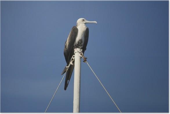 Plakát Fregata v messico - Ptáci