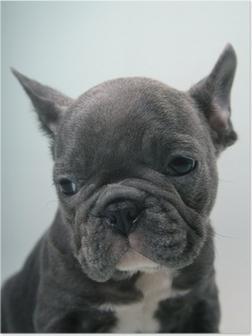 Plakat French Bulldog Puppy Portrait