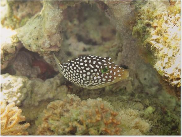 Plakát Hawaiian Whitespotted Puffer - Vodní a mořský život