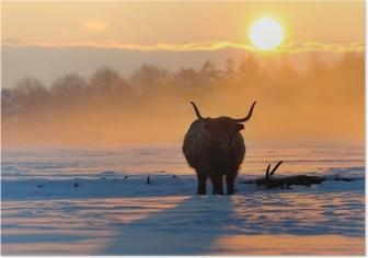Plakat Highland cattle