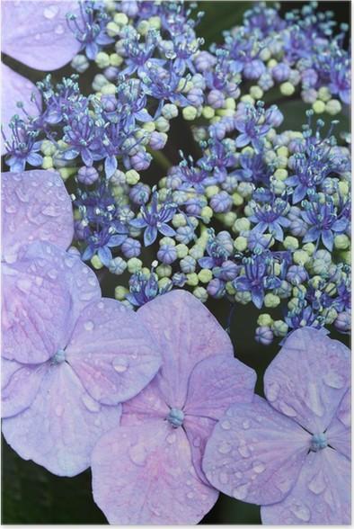 Plakát Hortenzie (Tokyo Horikiri kosatec zahradní hrášek) - Květiny