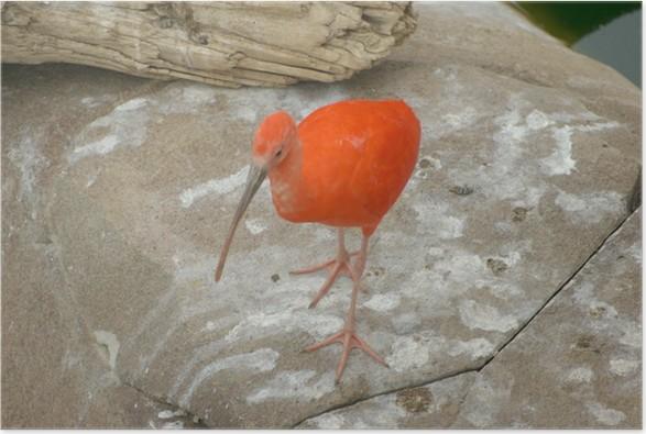 Plakát Ibis Sauvage - Ptáci