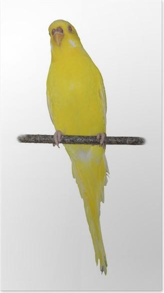 Plakát Kanárek - Svoboda